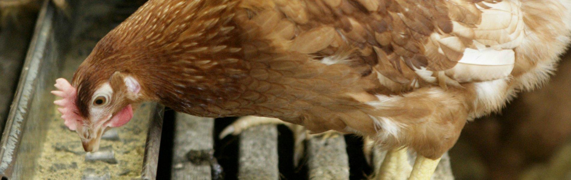 Lectoraat Precisievoeding en duurzame pluimveehouderij