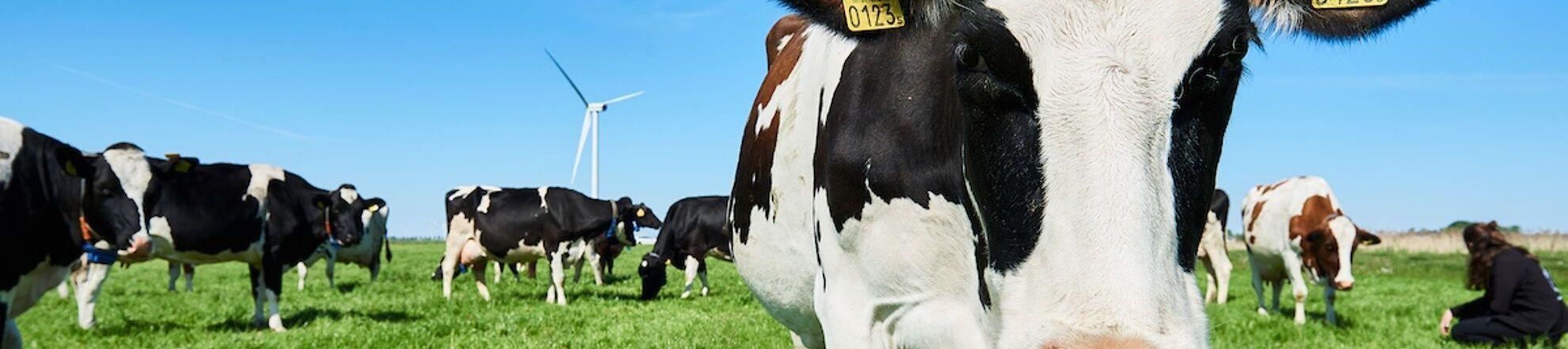 koeien in wei melkveebedrijf aeres farms aeres hogeschool dronten
